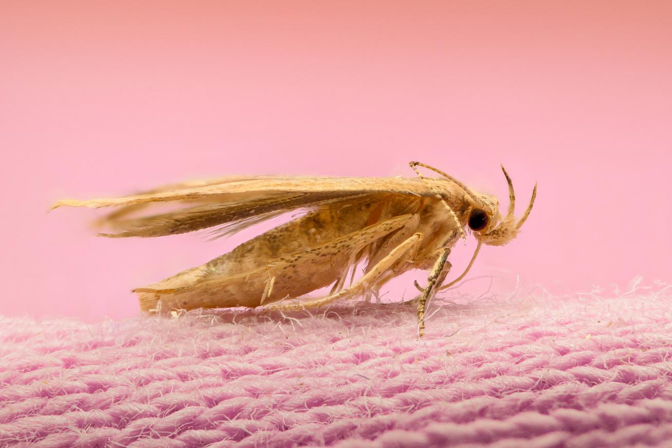 Hogyan védjem a gyapjúszőnyeget a molyok ellen?